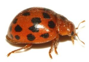 Subcoccinella vigintiquatuorpunctata-01cg