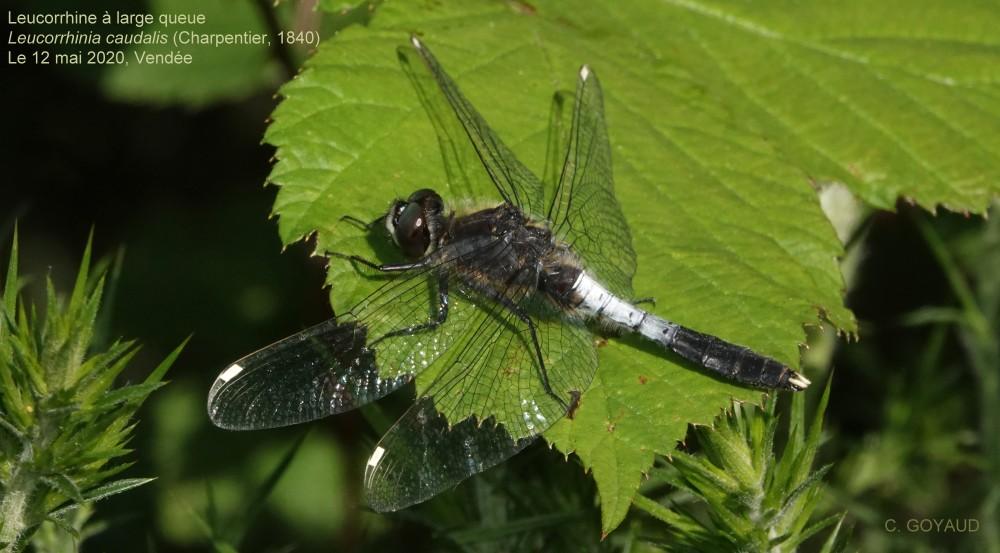 Leucorrhinia_caudalis(M)